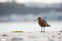 Bar-tailed godwit @ Helgoland 2019 (Jan Rillich) Tags: helgoland heligoland northern sea northernsea nordsee insel düne sandstein jan rillich janrillich picture photo photography foto fotografie eos digital wildlife animal nature beautiful beauty sunny sun fauna flora free animalphotography image 2019 eastern spring küste nordseeküste sand dune april 5dmarkiii canon pfuhlschnepfe schnepfe durchzügler limosalapponica bartailedgodwit helgoland2019 bartailed godwit