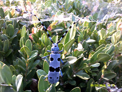 Rosalie des Alpes - DSCF0109 (6franc6) Tags: occitanie languedoc hérault clermontlhérault septembre 2018 insecte bleu pointnoir