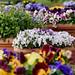 Blütenzauber Planten un Blomen