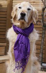 Sunny 17/52 (Lianne (calobs)) Tags: 52 weeks for dogs goldenretriever