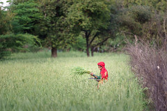 Wheat - Nikon 180mm 2.8 (thomas.pirolt) Tags: nikon 180mm ais india sony braj goverdhan radhakund streetphotography street streetlife a7 a7ii people portrait candid moment theindiatree nature green