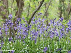 Bluebells 28/04/2019 (the_greenman) Tags: waresleygransdenwoods wildlifetrust ancientwoodland thegreenman wwwwaresleywoodcouk conservation