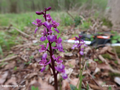 Early Purple Orchid 28/04/2019 (the_greenman) Tags: waresleygransdenwoods wildlifetrust ancientwoodland thegreenman wwwwaresleywoodcouk conservation