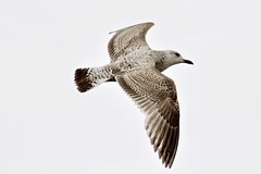 Seagull (Nexus Nine Photography) Tags: seagull london riverthames bird animal nature creature voël zog quş ptica 鸟 fugl vogel ibon lintu oiseau zwazo burung èan uccello avem ptas pàssaro pasăre pàjaro ndege fågel kuş chim adar