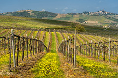 Vineyards of Oltrepo Pavese in April (clodio61) Tags: april europe italy lombardy oltrepopavese pavia agriculture color country day field green hill land landscape nature outdoor photography plant road rural scenic spring springtime sunny vine vineyard yellow
