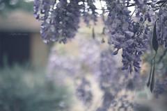 Before the rain (pierfrancescacasadio) Tags: aprile2019 22042019840a91352 wisteria glicine 50mm bokeh beforetherain rain moody misembradisentireilprofumo wide open