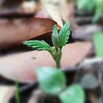 Vaig fer uns esqueixos de llúpol l'any passat i han arrelat prou bé, aquí el baby Groot. I made some hops cuttings last year and rooted well, here is the baby Groot. #groot #babygroot 🌱 #hop #hops #homebrew #homebrewing #fuggles thumbnail