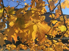 IMG_0263 (tombrewster6154) Tags: fiery hues colors fall foliage autumn autumnal beauty midnovember 2018 mmxviii beautiful pretty saturday daylight sunshine maple leaves shiny bright digital camera picture photography photograph