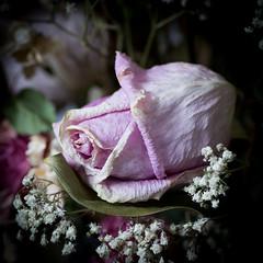dead flowers (marinachi) Tags: eyeofthebeholder macromondays macro closeup flowers rose pink plant dead sundaylights