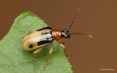 Leaf Beetle, Lema sp., Criocerinae (Ecuador Megadiverso) Tags: andreaskay beetle chrysomelidae lema citynaturechallenge coleoptera criocerinae ecuador tena