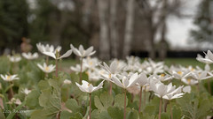 Hidden Falls Regional Park (Lzzy Anderson) Tags: hiddenfallsregionalpark hiddenfalls regionalpark april spring 2019 woods forest green flowers plants white whiteflower lilies whitelilies
