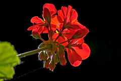 Red Geranium. (womboyne7) Tags: 100xflowers2019 red light bright colours green geranium flower leaf sundaylights