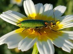 MONDAYS WITH FLOWERS AND A BUG (Pedro Muñoz Sánchez) Tags: mondays flowers bug lunes flores bicho nature colors insecto macro flor jewel joya