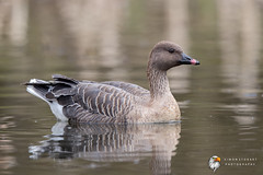 Pink Footed Goose (Simon Stobart) Tags: pink footed goose anser brachyrhynchus north east england uk naturethroughthelens