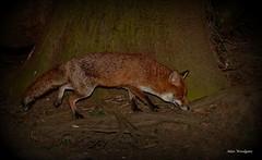 Red Fox (Vulpes vulpes) (Alan Woodgate) Tags: red fox vulpes wild uk buckinghamshire nikon d500