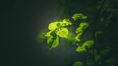Spring Green (Dhina A) Tags: sony a7rii ilce7rm2 a7r2 a7r tamron sp 350mm f56 tamronsp350mmf56 prime ad2 adaptall2 mirrorlens 06b catadioptric reflex cf tele macro manualfocus spring green leaves bokeh