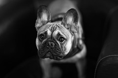 The look (Guillaume DELEBARRE) Tags: frenchbulldog dog dof canon 5dmarkiv blackandwhite noiretblanc look regard expression bokeh ef85f12l f12 expressivité frenchie bulldog bouledoguefrançais chien dxo largeaperture