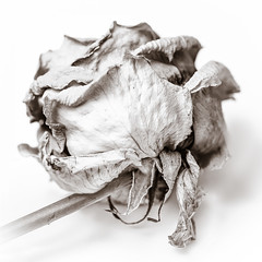 MM - Eye of the Beholder (belincs) Tags: dyingrose macromondays lincolnshire eyeofthebeholder macro 2019 uk april