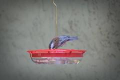 Chickadee drinking from the hummingbird feeder (randyherring) Tags: sanjose ca