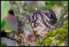 Jungamsel (robert.pechmann) Tags: jungamsel amsel küken vogel jungvogel makro macro robert pechmann blaue augen