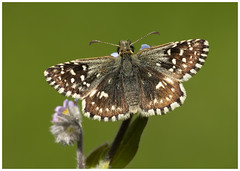 Grizzled Skipper (nigel kiteley2011) Tags: grizzledskipper pyrgusmalvae lepidoptera butterfly nature butterfrlies insects macro canon 5dmk3 sigma180mm
