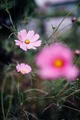 波斯菊 (aelx911) Tags: a7rii a7r2 sony carlzeiss fe35mm fe35mmf14 fe35f14 landscape flower nature bokeh taiwan kaohsiung 台灣 花 波斯菊