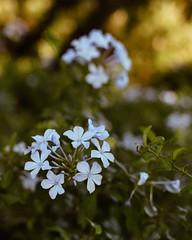 Jazmín del cielo (Irene Carbonell) Tags: otoño montevideo flores jazmín flowers 35mm nikon