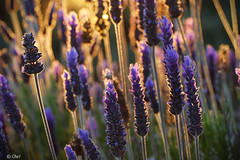 Aura (chelocatala) Tags: naturaleza reflejos flores lavanda
