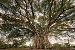 The Century Tree(s) (Bram de Jong) Tags: tree ficus philippines canlaon dalakit landscape fisheye nikond500 asiafavorites happyplanet negros centurytree ngc