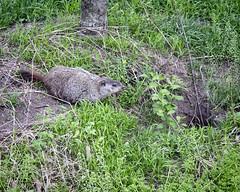 Woodchuck in My Neighborhood (Steve Holsonback) Tags: montgomery county maryland gaithersburg woodchuck sony a77ii sigma 70200