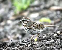 Song Sparrow (Steve Holsonback) Tags: montgomery county maryland gaithersburg song sparrow sony a77ii sigma 70200