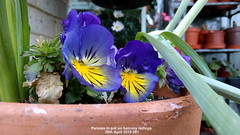 Pansies in pot on balcony railings 29th April 2019 001 (D@viD_2.011) Tags: pansies pot balcony railings 29th april 2019