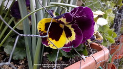 Pansies in trough on balcony railings 29th April 2019 001 (D@viD_2.011) Tags: pansies trough balcony railings 29th april 2019