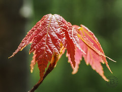 New Maple Leaves, Great Smoky Mountains National Park, Tennessee (netbros) Tags: greatsmokymountainsnationalpark tennessee chestnuttoptrail mapleleaves netbros internetbrothers