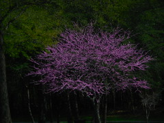 DSCN4375 (tombrewster6154) Tags: red bud tree purple flower petals spring blossoms lovely scenery blooming natural beauty april second week wednesday northcarolina 2019 mmxix green leaves pretty digital camera picture photograph photography branches bark wood street level triad park colfax