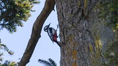 Stor Flagspætte, Great Spotted Woodpecker, Große Bunte Specht (Dendrocopos major)-6182 (Kenneth Gerlach) Tags: bird flowersplants fugle grosebuntespecht haslev love specht spottedwoodpecker spring spætte storflagspætte sørenspætte vogel wildlife woodpecker