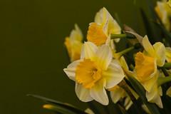 Flowers (ost_jean) Tags: flowers narcissen nikon d5300 tamron sp 90mm f28 di vc usd macro 11 f004n ostjean daffodils