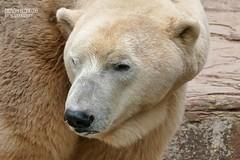 Vera - Nanuq - Eisbären - Tiergarten Nürnberg (ElaNuernberg) Tags: eisbärvera eisbärnanuq tiergartennürnberg nurembergzoo zoo zooanimals zootiere eisbär polarbear ijsbeer isbjorn niedźwiedźpolarny ursusmaritimus ourspolaire orsopolare jääkaru