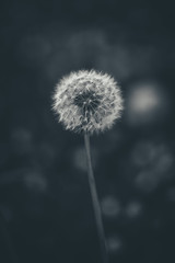 119/365 - Dandelion (Forty-9) Tags: canon eos6d eflens ef100mmf28lmacroisusm lightroom macro project365 365 2019 3652019 project3652019 day119 119365 april 29thapril2019 29042019 photoaday monday blackandwhite dandelion bw tomoskay forty9