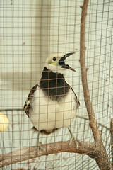 the caged bird squawks (the foreign photographer - ฝรั่งถ่) Tags: black collared starling caged bird khlong thanon bangkhen bangkok thailand canon