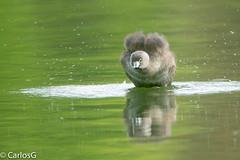 Zaramagullón, Pied-billed Grebe (Podilymbus podiceps) (Gogolac) Tags: bird birdphotography birds canon7dmii fauna location aves birdspot birdingrd birdsspotters republicadominicana