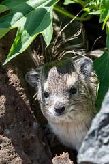 Shy Little Tree Hyrax (Jill Clardy) Tags: africa kenya vantagetravel hyrox safari 201902279l8a2385 transmara riftvalleyprovince tree hyrax rodent indigenous rabbit maasai mara serena lodge
