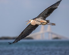 Great Blue Heron Inflight & Sunshine Skyway Bridge (dbadair) Tags: outdoor seaside shore sea sky water nature wildlife 7dm2 ef100400mm ocean canon florida bird bif flight