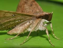 Black mask moth Hypospila bolinoides Catocalinae Erebidae Airlie Beach rainforest P1030388 (Steve & Alison1) Tags: black mask moth hypospila bolinoides catocalinae erebidae airlie beach rainforest
