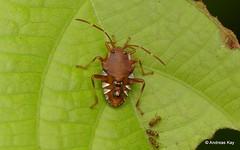 Bug Nymph (Ecuador Megadiverso) Tags: andreaskay citynaturechallenge ecuador hemiptera heteroptera nymph pentatomidae pentatomomorpha tena truebug