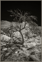 Molino Canyon IR #4 2019; Leafless Tree (hamsiksa) Tags: southwest arizona pimacounty tucson santacatalinamountains sonorandesert coronadonatinalforest molinocanyon blackwhite infrared digitalinfrared desertplants waterinthedesert