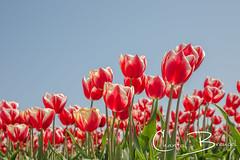 Tulpen (Chantal van Breugel) Tags: bloemenbloembollen tulpen tulpenveld noordholland t zand holland april 2019 canon5dmark111 canon24105