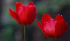 Perfect Alignment (AnyMotion) Tags: tulpe tulip tulipa blossom blüte bokeh 2019 floral flowers blumen plants pflanzen anymotion frankfurt garden garten spring frühling primavera printemps natur nature colours colors farben red rot 7d2 canoneos7dmarkii ngc npc