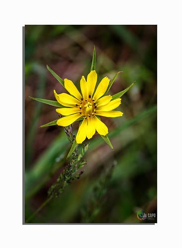 """Tragopogon pratensis: """"L'amitié sans confiance, c'est une fleur sans parfum.  De Laure Conan """""""