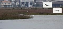 Common Terns (Sterna hirundo) Fishing (zeesstof) Tags: zeesstof shortbreak photoassignment texas island galvestonisland statepark galvestonislandstatepark nature wildlife bird waterbird tern commontern sternahirundo